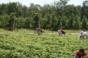 Mike Strawberry Picking